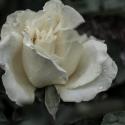 White Rose (3)