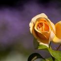 Yellow Rose (12)